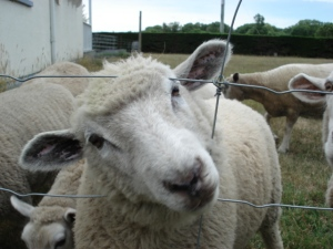 This is the lucky lamb from last year mentioned.