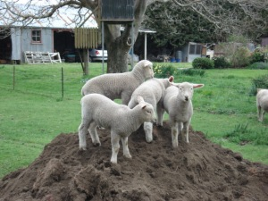 lambs on dirt pile